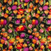 Dekorační látka tulipány, š.135
